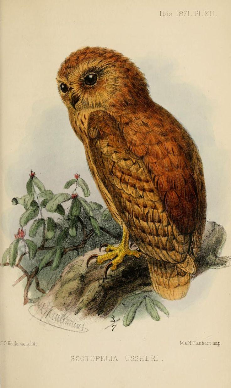 Rufous fishing owl, Ibis (quarterly journal of the British Ornithologists'  Union), Series III, Vol.