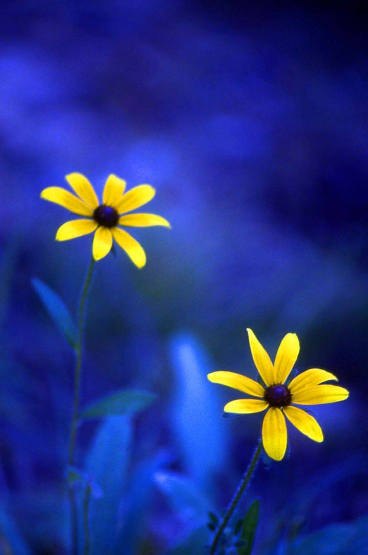 Brilliant and bright yellow flowers against a blue backdrop / bokeh color photography      ᘡղbᘠ
