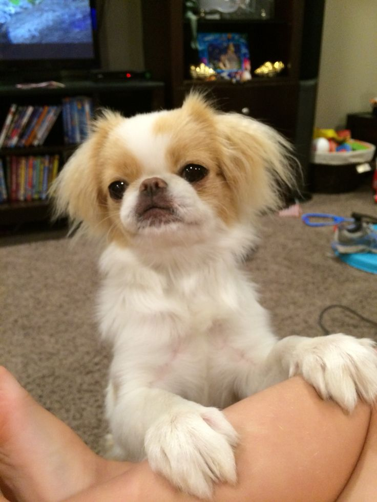 1604 Best Japanese Chin A Board For Chin Lovers Images