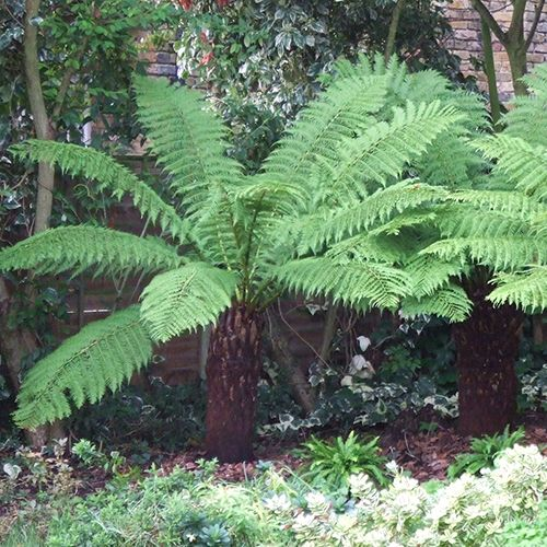 Hardy Tree Fern Dicksonia antarctica log