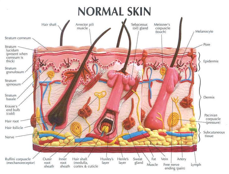 Hair Follicle Model Labeled  Bing Images | Biology | Skin