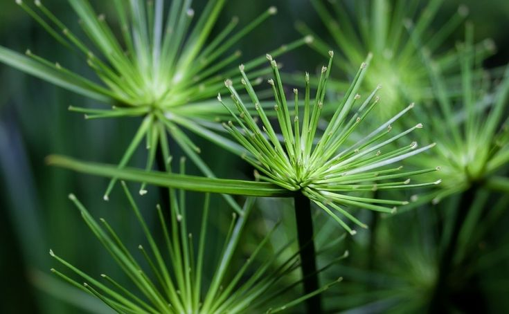 Papirusy, czyli cibory to dość duża rodzina roślin. Niektóre gatunki możemy uprawiać w doniczkach, dostarczając im przede wszystkim wody. Fot. Foto-Rabe - pixabay.com