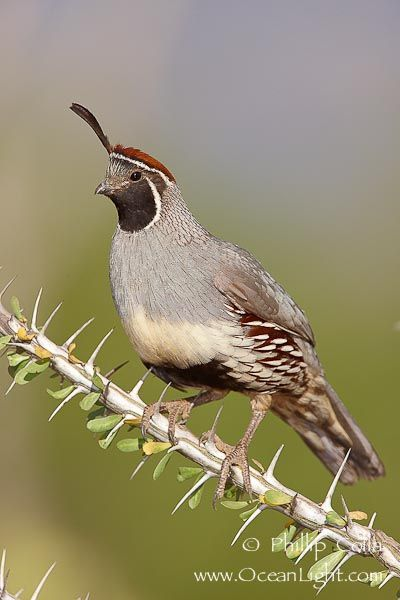 Gambel's quail in ocotillo. Sonoran Desert - Arizona - My sister just moved to Arizona & said these interesting birds are running all over.