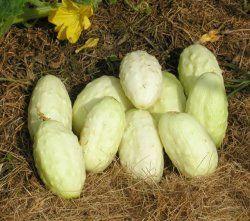 Gurka 'Miniature White', eko, rikgivande, skördas vid 6 cm. Alla älskar sorten. Lättodlad, säker. Skala äldre ex + skrapa ur frön. Runåbergs 30kr.