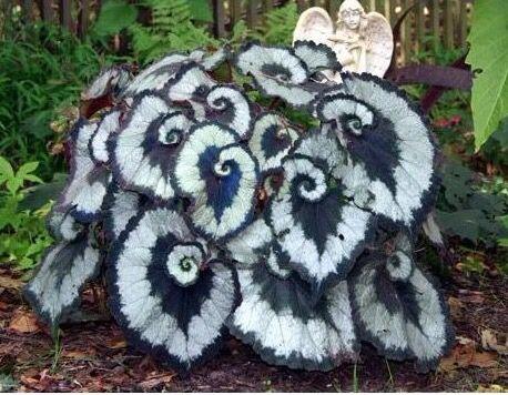 Escargot Begonias! Yes!!