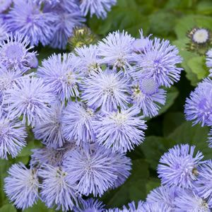 Ageratum houstonianum  Ariella Blue has small blue fluffy powder puff blooms, more tolerant of heat than other Ageratums, this vigorous branching plant flowers exceptionally well throughout spring, summer and autumn. Keep well watered and fertilised during the growing season and%2...