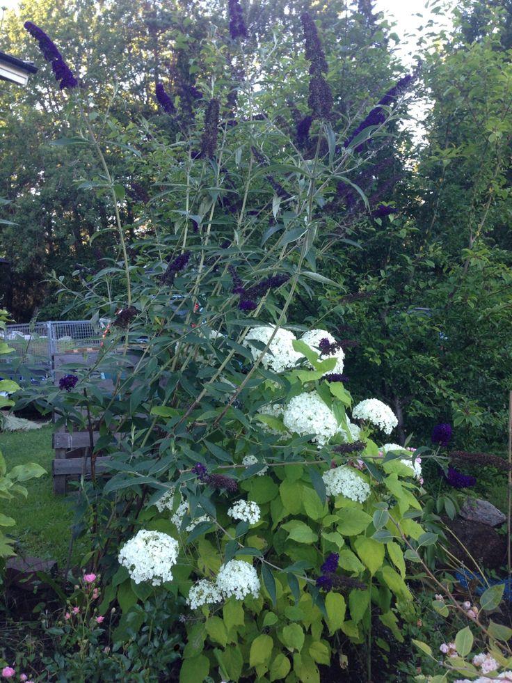 Fjärilsbuske med hortensia som stöd