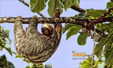 The sloth saves energy by moving very slowly.... It is so light that other predators cannot get to the upper branches where it hangs #jungle #sloth #animals