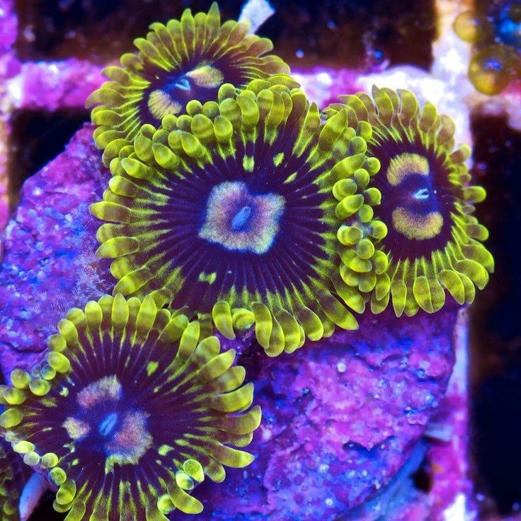 20 Best Palythoa And Zoanthids Images On Pinterest