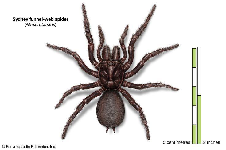 sydney funnel-web spider