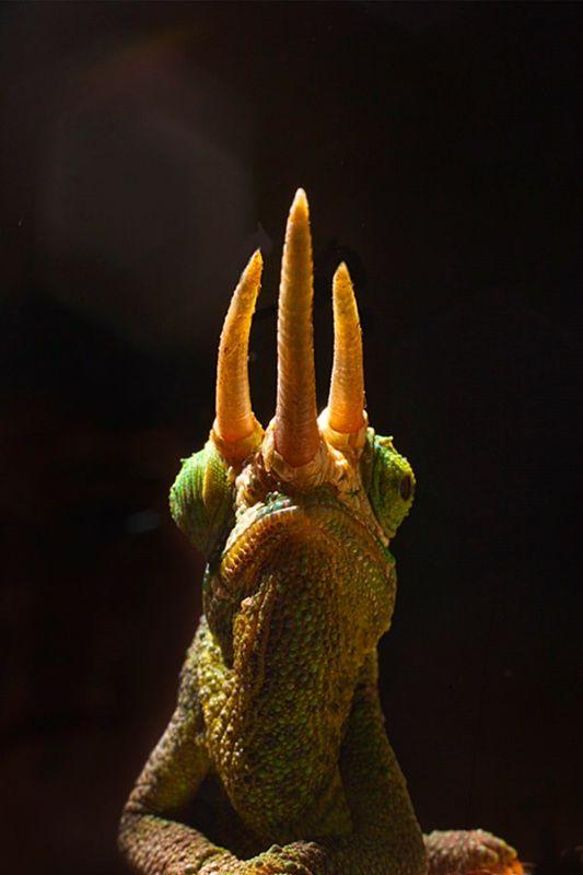 It's the triceratops of chameleons! (Jackson's Chameleon, Kenya  • • •  © Jim  Zuckerman)