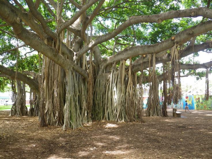 The Mighty Banyon Tree WASN'T THIS IN WAIKIKI!?!? @Jonathan DeGroot