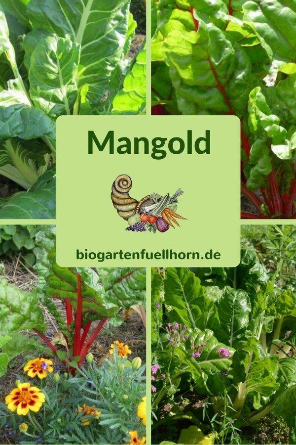 Anbau von Mangold #mangold anbauen #garten #selbstversorger