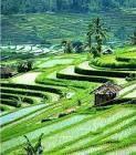 Sawah di Indonesia
