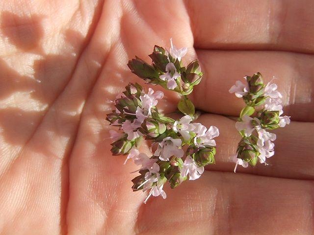flor de oregãos