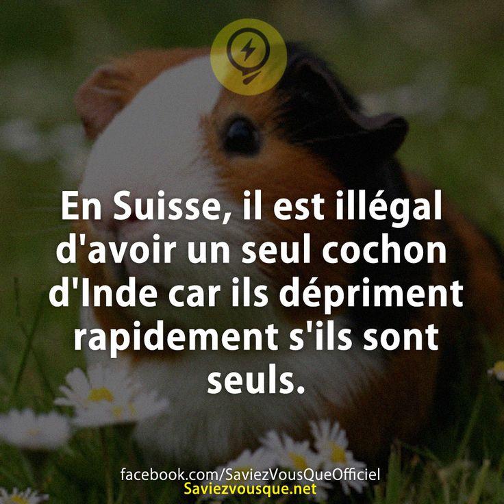En Suisse, il est illégal d'avoir un seul cochon d'Inde car ils dépriment rapidement s'ils sont seuls.