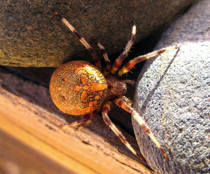Les 25 meilleures id es de la cat gorie araign e des jardins sur pinterest art d 39 araign e - Araignee des jardins en 6 lettres ...