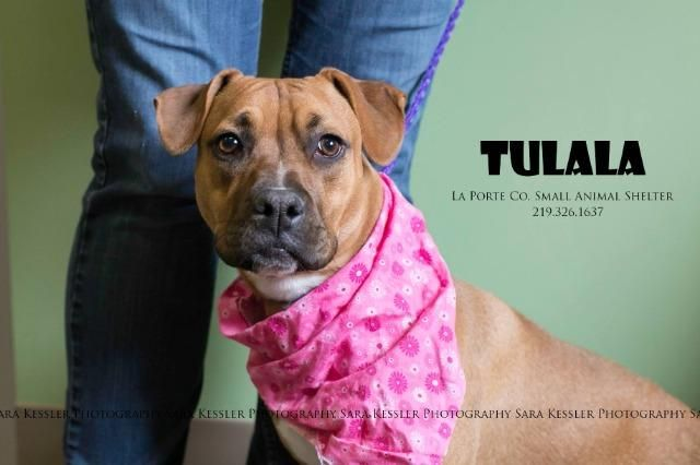 Bullboxer Pit Dog For Adoption In La Porte In Adn 754713 On