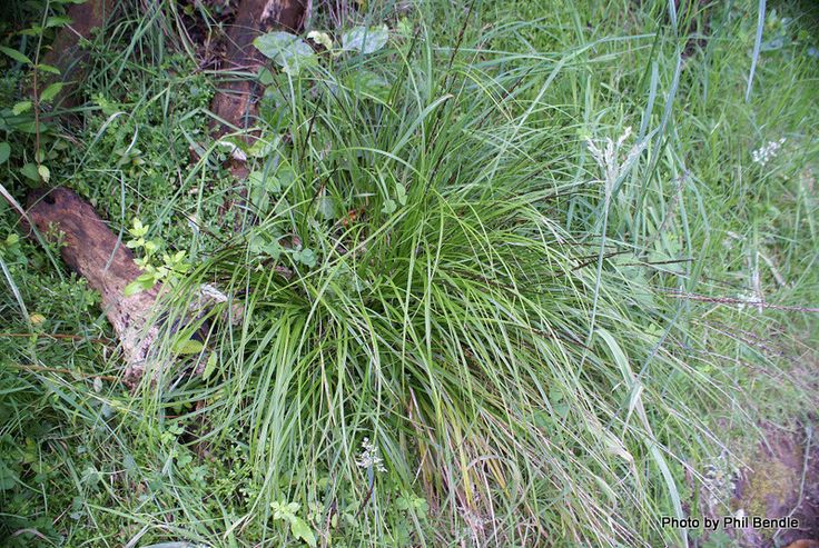 Uncinia uncinata - Hook Sedge, Hook grass, Bastard grass, kamu, matau-a-maui.