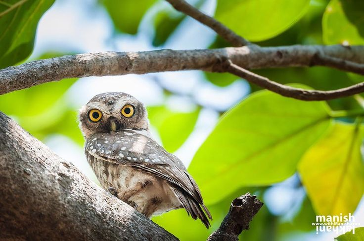 I love your big Yellow Eyes and they are curious enough to watch you tireless. I came across with this little Spotted Owlet in Gir forest.  The spotted owlet (Scientific name: Athene Brama) is a tinny owl which breeds in tropical Asia from India to Southeast Asia. A common resident of open habitats including farmland and don't mind staying with human habitation so has adapted to living in cities too.  They roost in small groups in the hollows of trees or in cavities in rocks or buildings. It…