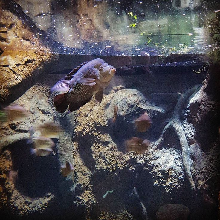 #рыба #пираньи #пиранья #страшно #аквариум #океанариум #москвариум #fish #piranha #aquarium