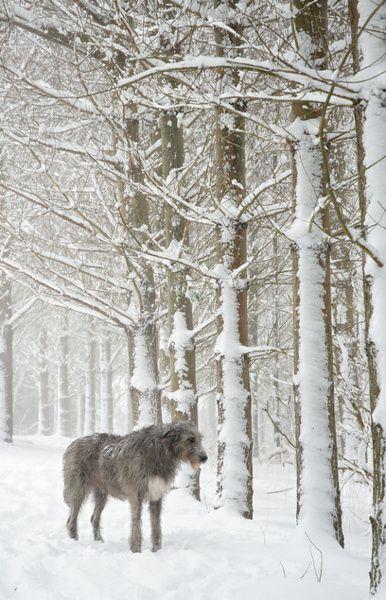 L'Irish Wolfhound 05fc3f55745e3029c1e14b9bf4ac82f8