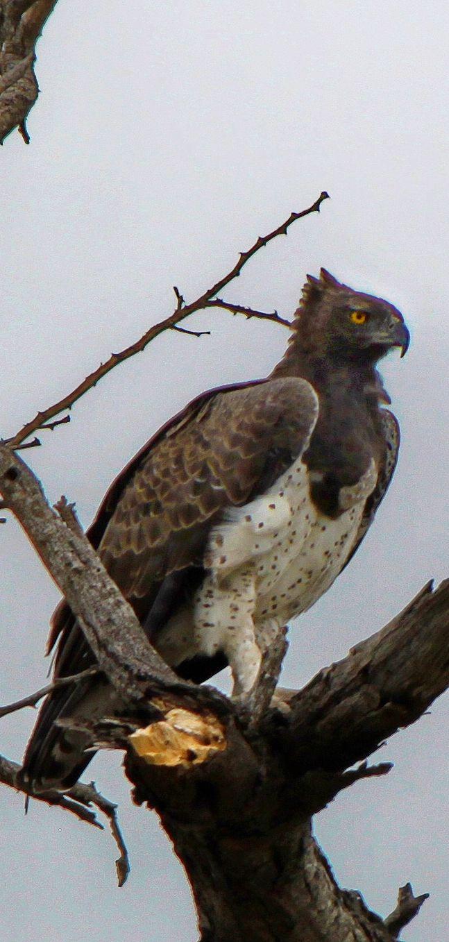 Martial eagle (Polemaetus bellicosus)  - Here is a large specimen, probably female, showing slight crest and protruding crop. Southern Kruger National Park, South Africa. November 2013