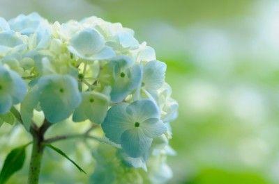 Using Hydrangea Fertilizer – When and How To Fertilize Hydrangea