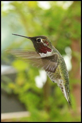 "Hummingbird framed - ""From the Porch"""