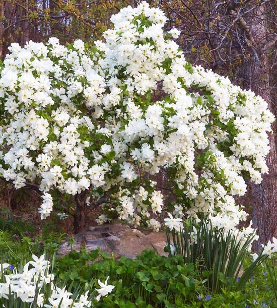 107 best blooming shrubs images on pinterest landscaping ideas new trees and shrubs for 2013 mightylinksfo