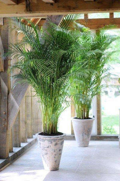 Met een palm haal je een echte persoonlijkheid in huis: deze plant laat zich niet wegstoppen, en speelt met prachtige grote bladeren een hoofdrol in het interieur. Best op een lichte standplaats te zetten, bij voorkeur niet te koud.