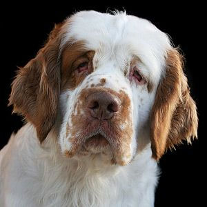 Clumber Spaniel OMG Caleb and I are getting one. How can you resist?