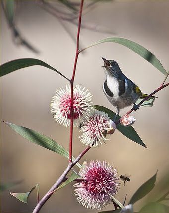hakea laurina- Native to Australia