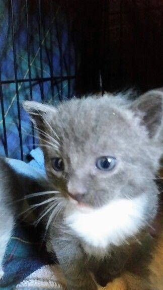 This is Dally. She is a 8 weeks old DSH.