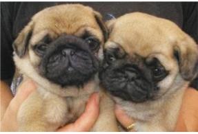 Pug puppies!! OMG!!!