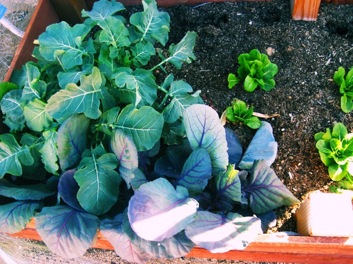 Winter gardening. Greens love the winter! And best part is all the squirrels are gone for the winter!