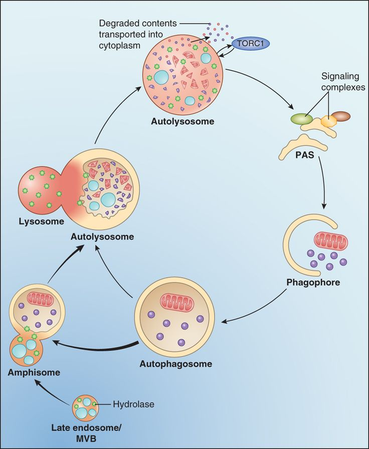 An overview of macroautophagy.
