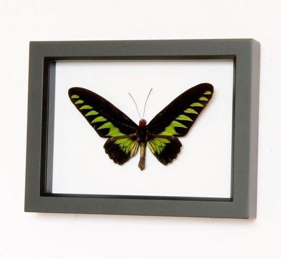 Framed Birdwing Butterfly Museum quality insect by BugUnderGlass, $45.00