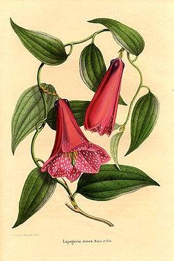Copihue (Lapageria rosea)