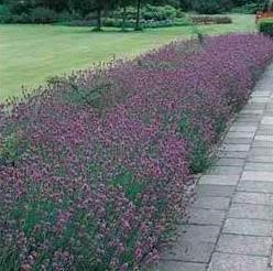 English Lavendar Landscaping Ideas Pinterest Gardens