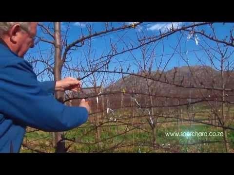 How to Prune Fruit Trees: Avocado, Apple, Nectarine, Plum, Pomegranate, Pear, Cherry, Fig - YouTube