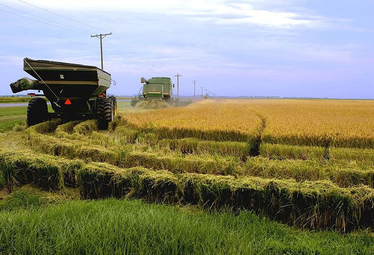 Rice — my endless lesson /44/ - Stuttgart 72160, Arkansas  Username: ngythanh  Different lines, Variety