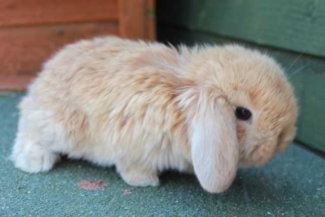 Mini Dwarf Lop Rabbit