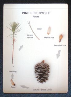 KIT:Glass-topped display illustrates the life cycle of pines. Using dried, labeled specimens, this case features a pine seedling, mature needle, male cone, spring (young) and fall (mature) female cones, and a pine seed showing the characteristic wing to aid in dispersal.