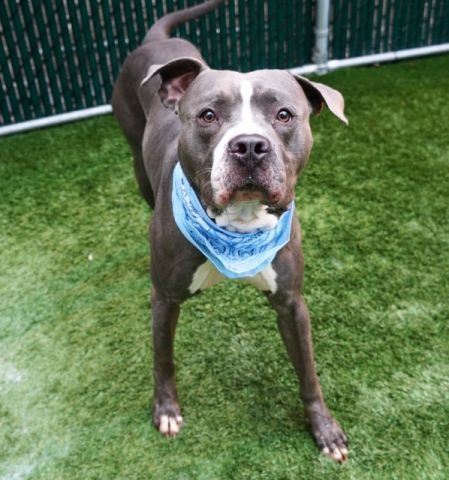 CHUNKY - 11857 - - Manhattan  TO BE DESTROYED 11/11/17 A volunteer writes: Chunky (who is not chunky) was found by a police officer who brought him to the Manhattan Care Center with a load of praises. Chunky is, without a doubt, a real Titan, a tall and muscular dog, lean, handsomely dressed, and with the strength of a colossus. A kennel is definitely not for him. He needs space. Once leashed, Chunky pulls in directions even unknown to him, making a walk in the street quite