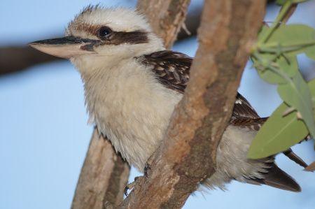 Kookaburra sits in the old gum tree......