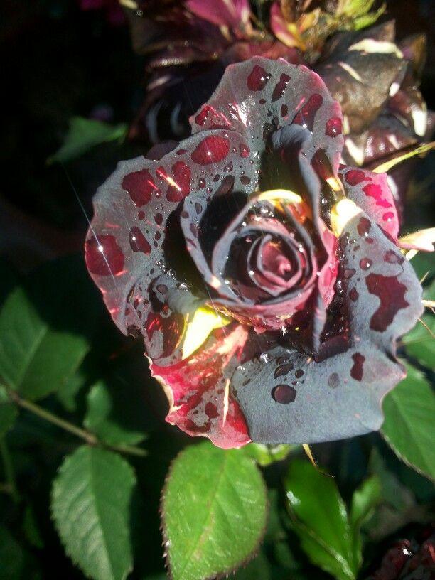 Black Tiger rose | My Roses | Pinterest | Black tigers ...