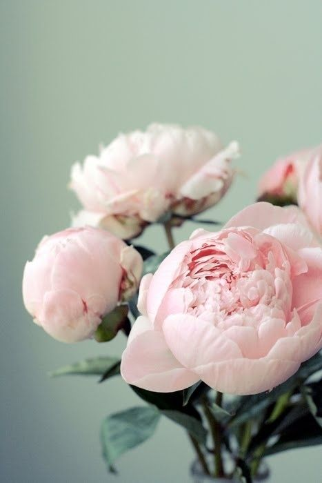 Pink peonies are forever a symbol of love and sweet memories for me. They were…