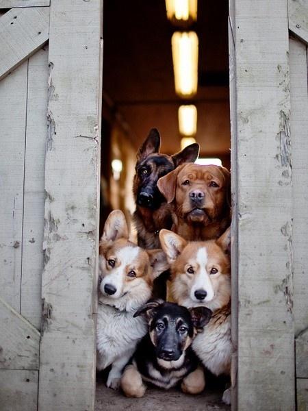 .: Doggie, Animals, Puppies, Friends, Dogs, Corgi, Pets, Puppy