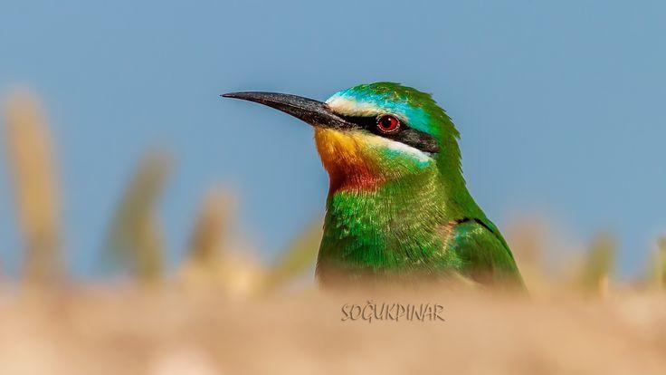 Yeşil Arı Kuşu